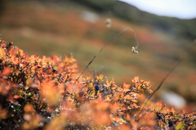 Alpine blueberry bushes changing colours. The best fall hikes near Vancouver.