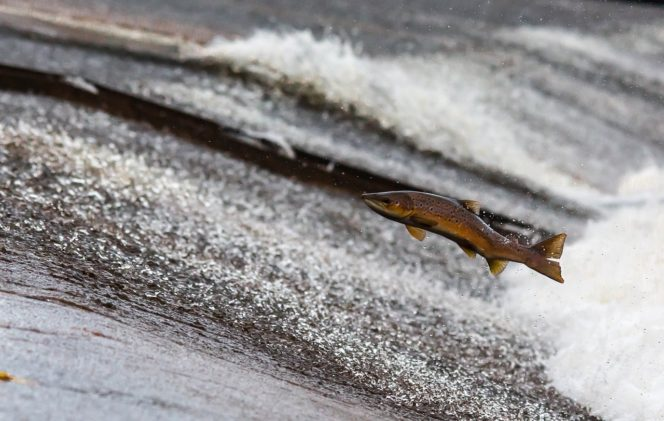 Salmon jumping upstream during a salmon run near Vancouver, BC