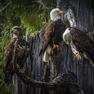 Bald eagles in Squamish, BC