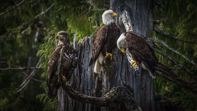 Bald eagles in Squamish, BC