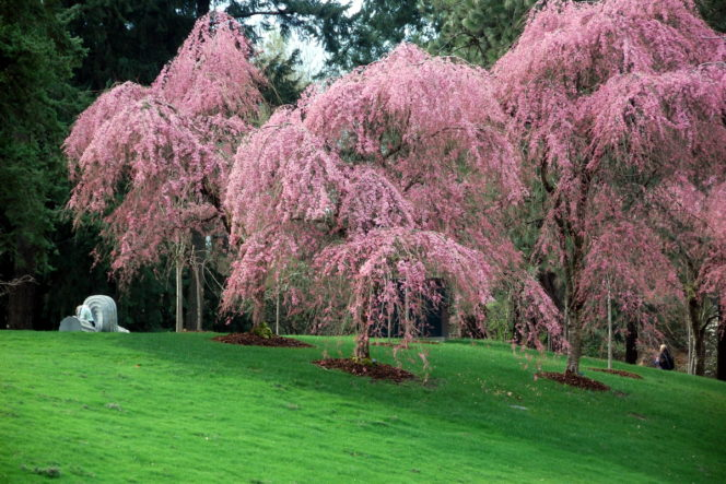 VanDusen Gardens Cherry Blossoms