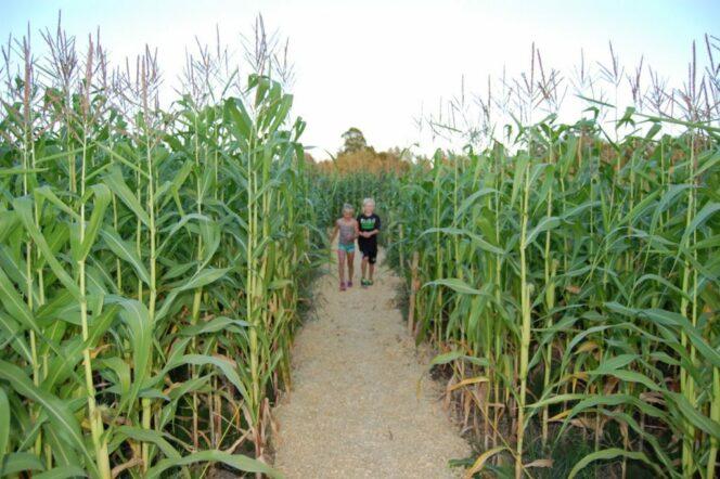 Children walk through a corn maze at Laity Pumpkin Patch South near Vancouver