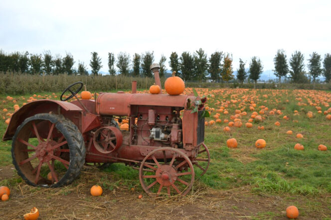 Pumpkins at Taves Family Farms near Vancouver