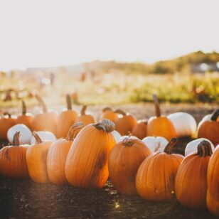 Pumpkins at a pumpkin patch