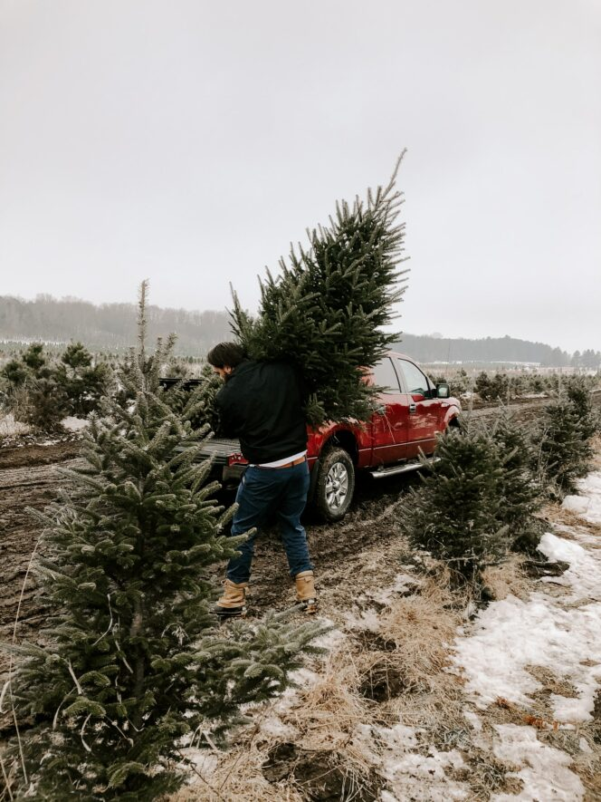 A man carries a freshly-cut Christmas tree to a truck on a Christmas tree farm