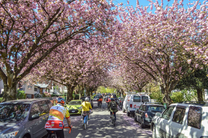 Cyclists bike past cherry blossoms during the 2016 Bike the Blossoms event