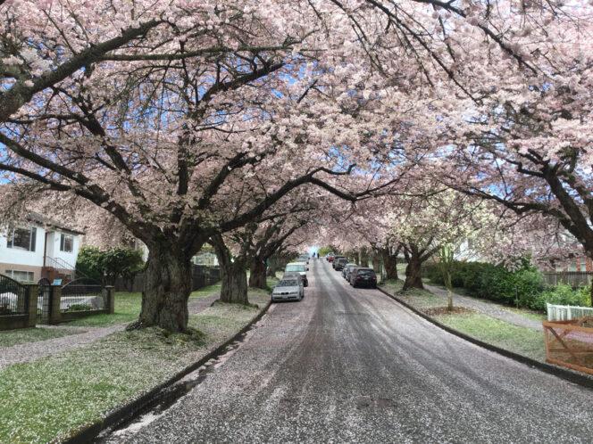 Cherry blossom petals litter a Vancouver street