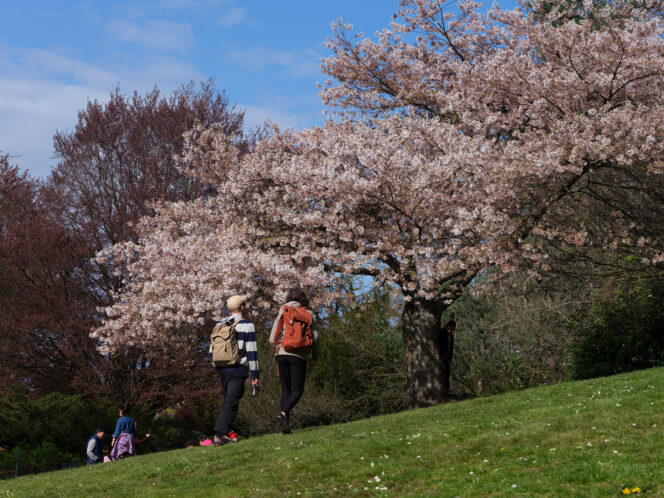 People admiring cherry blossoms in Vancouver