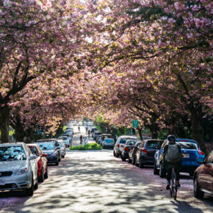 Biking through a cherry blossom lined street in Vancouver