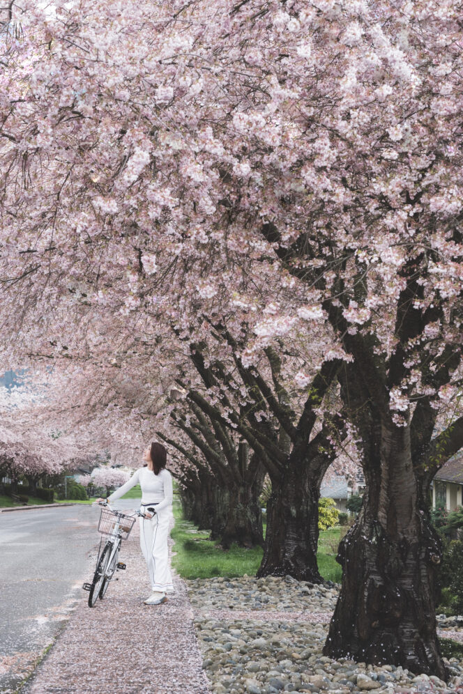 A woman walks her bike underneath cherry blossoms in Vancouver