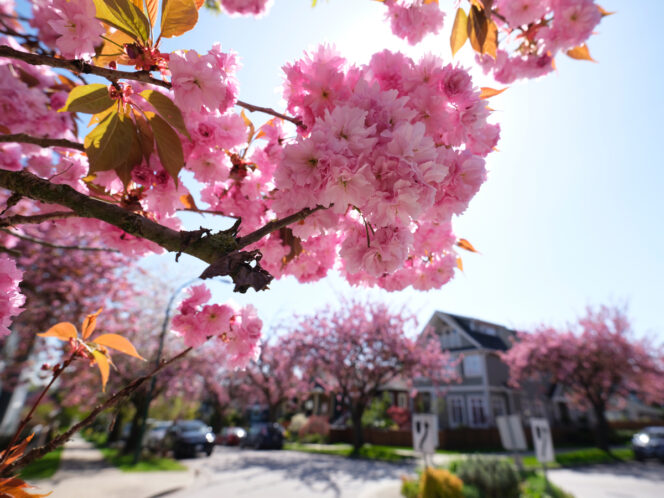 Cherry blossoms along a Vancouver Street