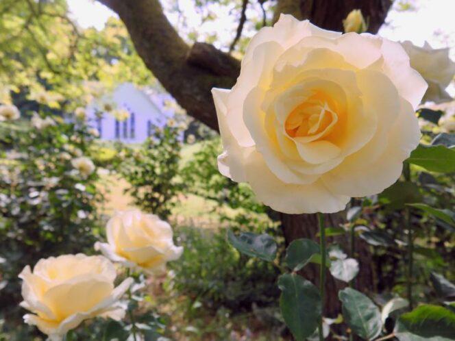 Roses in Minoru Park, Richmond