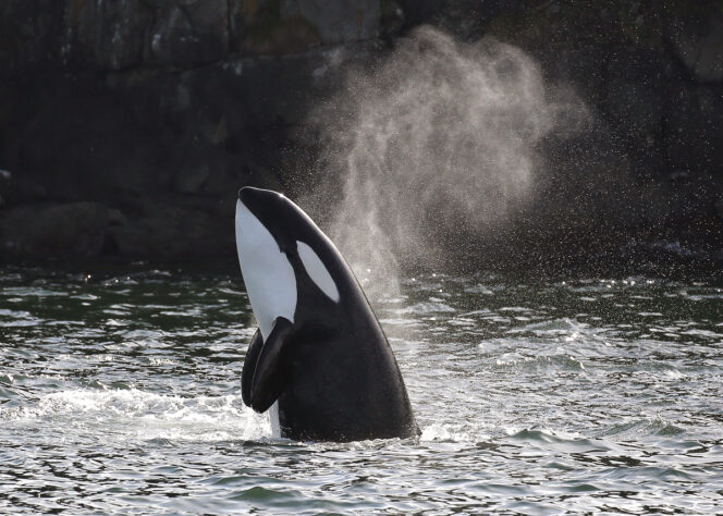 Killer whale with its head out of the water near Vancouver