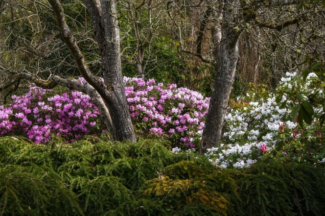 Rhododendrons at Darts Hill Gardens in Surrey near Vancouver, BC