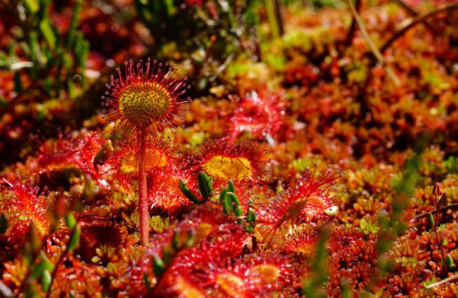 Sundew plant in a bog