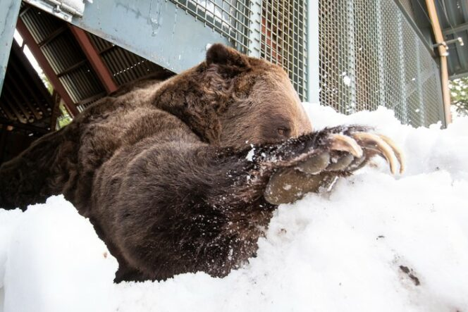 Grouse Mountain Grizzlies Grinder and Coola Emerge from Hibernation