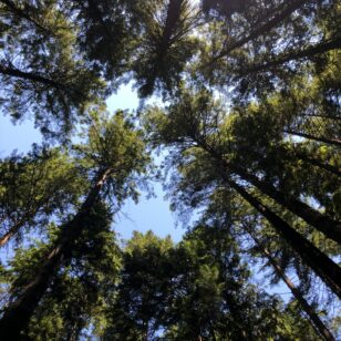 Looking up through the trees at Pacific Spirit Regional Park