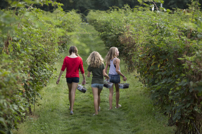 Berry picking at Krause Berry Farms in Langley