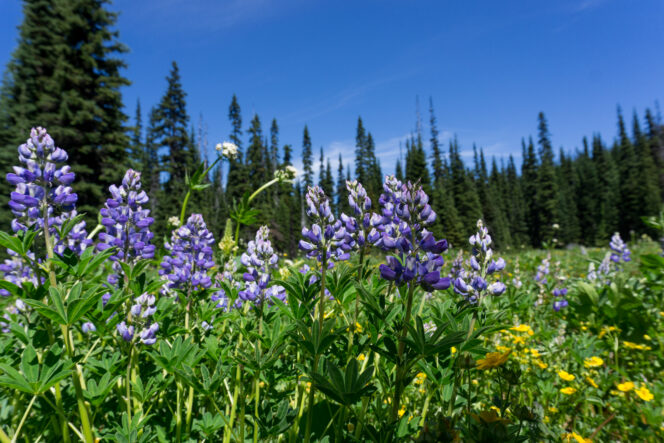 Wildflowers on the Heather Trail in Manning Park