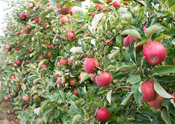 Apples at Taves Family Farms