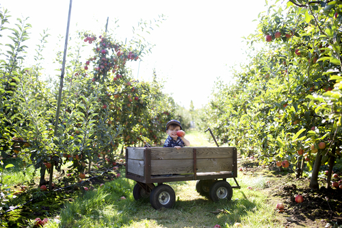 Willowview farms apple picking