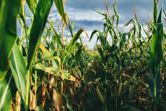 A field of corn against a blue sky