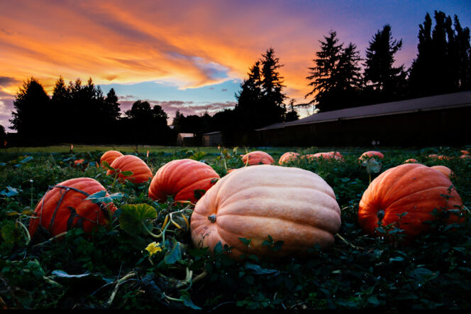 pumpkins at Willow View Farms near Vancouver