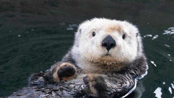 Vancouver Aquarium otter web cam
